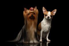 Собака йоркширского терьера с чихуахуа сидит на черноте Стоковые Фотографии RF