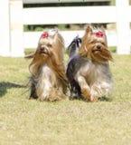 Собака йоркширского терьера Стоковое Изображение RF