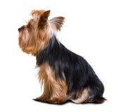 Собака йоркширского терьера Стоковые Фото