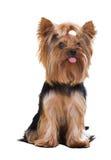 Собака йоркширского терьера Стоковые Фотографии RF