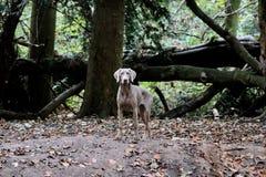 Собака камеди пальто Weimaraner серая Молодая женщина стоковая фотография