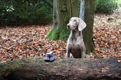 Собака камеди пальто Weimaraner серая Молодая женщина стоковое изображение rf