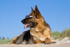 собака кладя овец песка Стоковая Фотография
