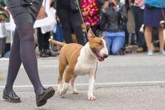 собака клиппирования быка 3d над белизной terrier тени перевода путя Стоковые Изображения