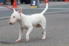 собака клиппирования быка 3d над белизной terrier тени перевода путя Стоковые Фотографии RF
