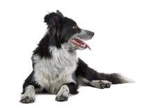 собака Коллиы граници Стоковые Изображения