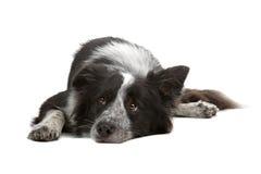 собака Коллиы граници Стоковые Фотографии RF