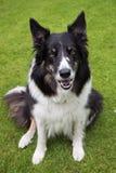 собака Коллиы граници Стоковое Изображение RF