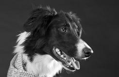 собака Коллиы граници Стоковое Изображение