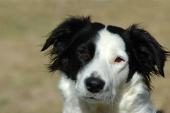 собака Коллиы граници Стоковые Фото