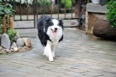 Собака Коллиы граници Стоковые Изображения RF