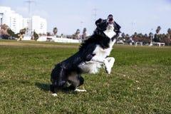 Собака Коллиы границы играя в парке Стоковое Изображение RF