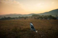 Собака Коллиы границы сидит в поле и взглядах на заходе солнца стоковые изображения rf
