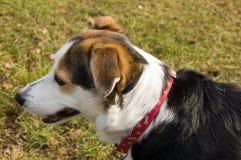 собака Коллиы милая Стоковое Фото