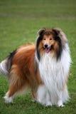 собака Коллиы Стоковая Фотография RF