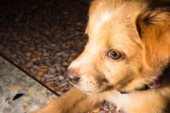 Собака конца-вверх портрета щенка милая дремая на поле стоковое изображение rf