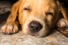 Собака конца-вверх портрета щенка милая дремая на поле стоковые изображения rf