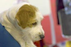 Собака конца-вверх терьера Стоковое Изображение RF