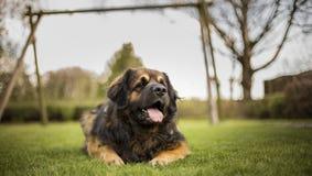 Собака конца-вверх Стоковая Фотография RF