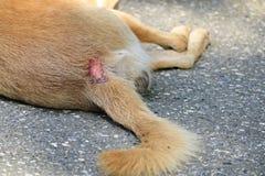 Собака которое больно кожные заболевания стоковые фото