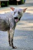 Собака которое больно кожные заболевания стоковое изображение rf