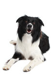 Собака Коллиы границы лежа на белой предпосылке Стоковое Изображение RF