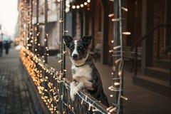 Собака Коллиы границы идя в город зимы Стоковое Фото