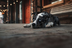 Собака Коллиы границы идя в город зимы Стоковое Изображение