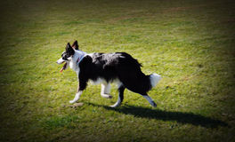 Собака Коллиы границы идя в злаковик Стоковые Изображения