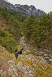 Собака Коллиы границы обозревая долину в Корсике Стоковые Фотографии RF