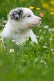 Собака Коллиы границы с бабочкой Стоковые Фотографии RF