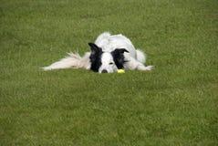 Собака Коллиы границы с шариком Стоковые Изображения