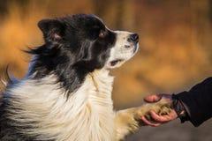 Собака Коллиы границы Стоковая Фотография RF