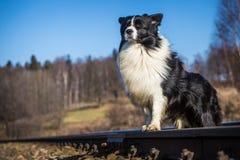 Собака Коллиы границы Стоковые Изображения