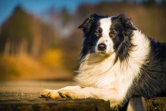 Собака Коллиы границы Стоковое Изображение RF
