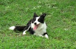 Собака Коллиы границы lyiing на злаковике Стоковая Фотография