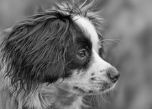 Собака Коллиы перекрестная Стоковая Фотография RF