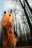 Собака Коллиы Wyatt Стоковое Изображение RF
