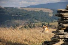 собака Красно-шерстей Стоковая Фотография RF