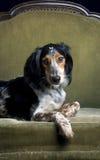 собака кресла аристочрата Стоковое Изображение RF