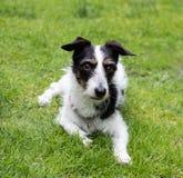 Собака креста Джека Рассела смотря прочь Стоковая Фотография RF