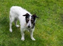 Собака креста Джека Рассела стоя на траве Стоковое Фото