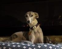собака кровати Стоковое фото RF