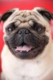 собака крупного плана puggy Стоковое Изображение