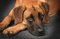 Собака кладя вниз с как раз ослаблять Стоковая Фотография