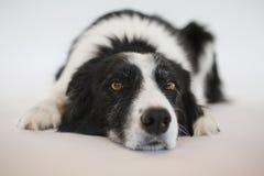 Собака кладя вниз стоковая фотография