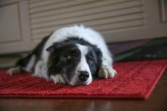 Собака кладя вниз стоковые фото