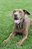 Собака кладя в траву стоковая фотография rf