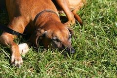 Собака кладя в траву Стоковые Изображения