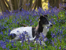 Собака кладя в цветки стоковое фото rf